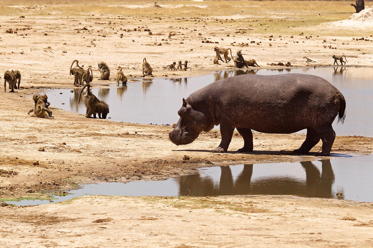 A hippo and baboons at a waterhole