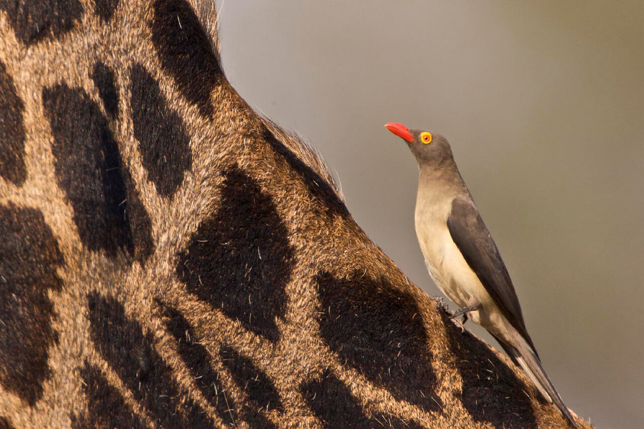 An oxpecker on a giraffe near South Luangwa National Park in Zambia - Photo by the Bushtracks Camp company