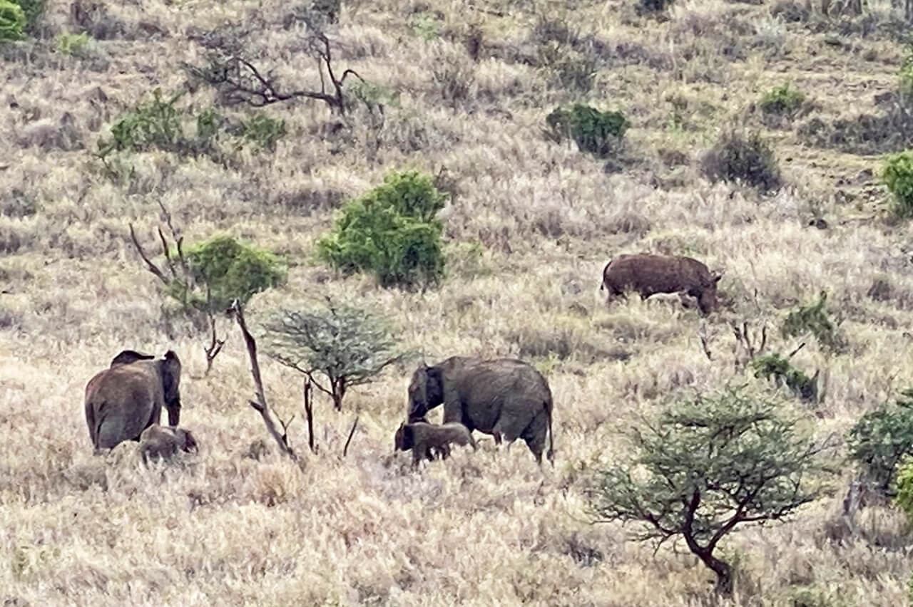 Rhino and elephant sighting during Walking Wild nomadic safari