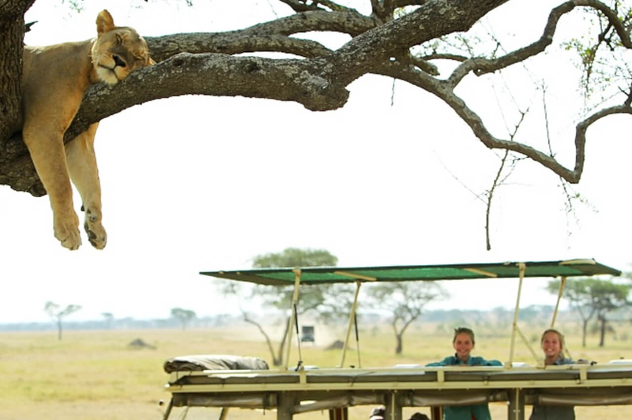 Bushtracks travelers look at a lion in a tree during their game drive activity