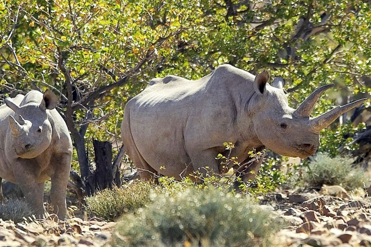Rhinos stand next to each other in Namibia during Palmwag Logde safari activity