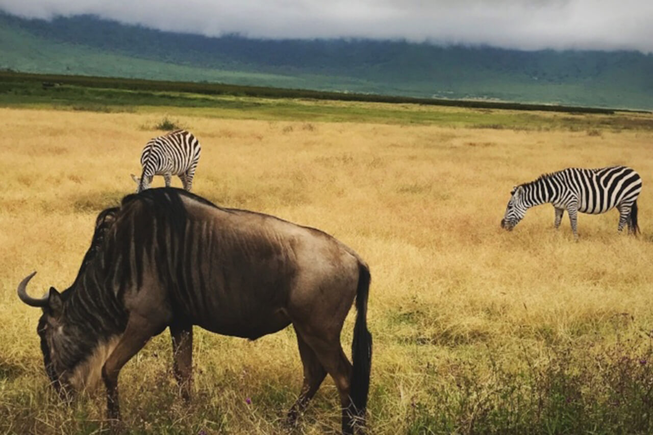Two zebras and one Wildebeest grazing a field